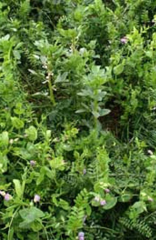 Zelena gnojidba KOMBO LEGUMINOZE Cijena