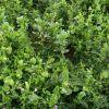 Zelena gnojidba KOMBO LEGUMINOZE
