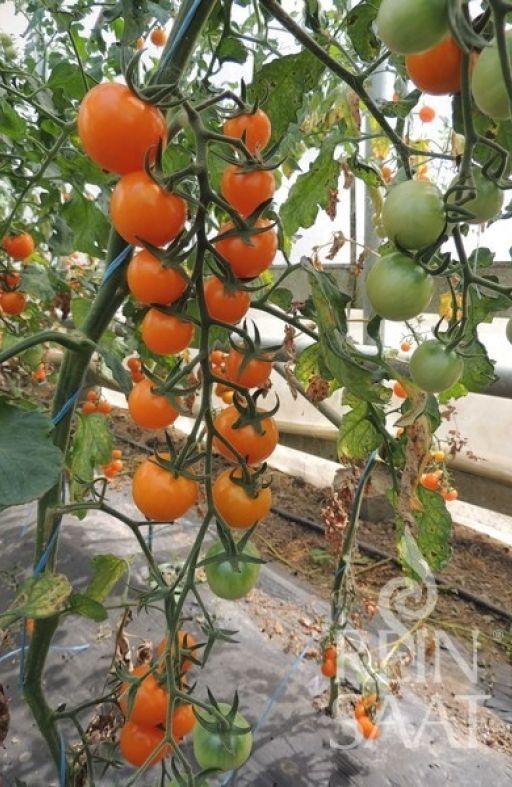 Rajčica LILLIT cherry Cijena
