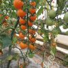 Rajčica LILLIT cherry