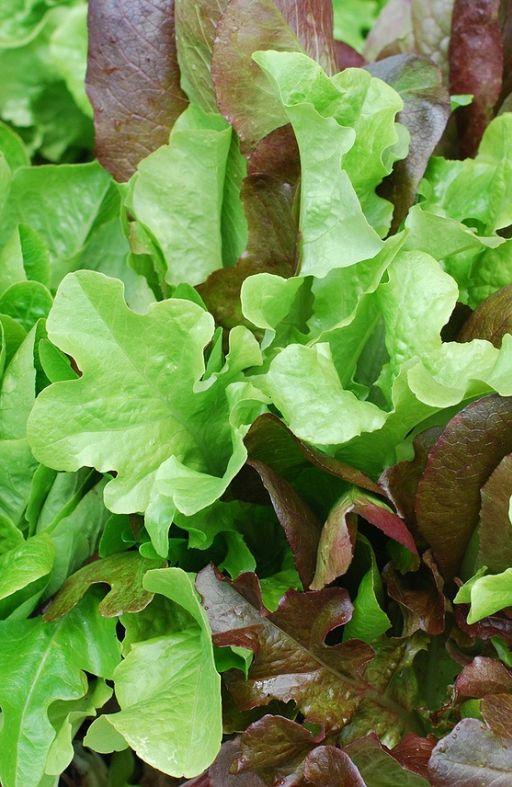Salata MJEŠAVINA - za rezanje Cijena