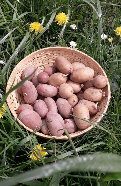 Krumpir 2 kg MIX za male vrtove Cijena