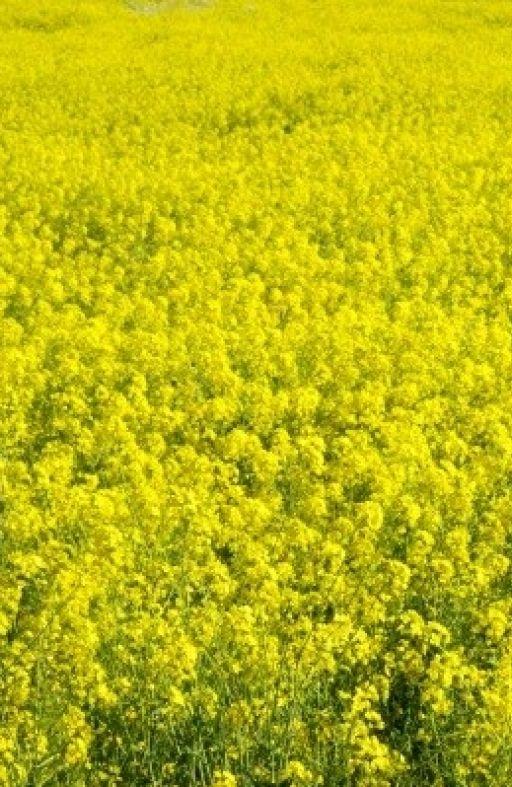 Zelena gnojidba GORUŠICA ŽUTA Cijena
