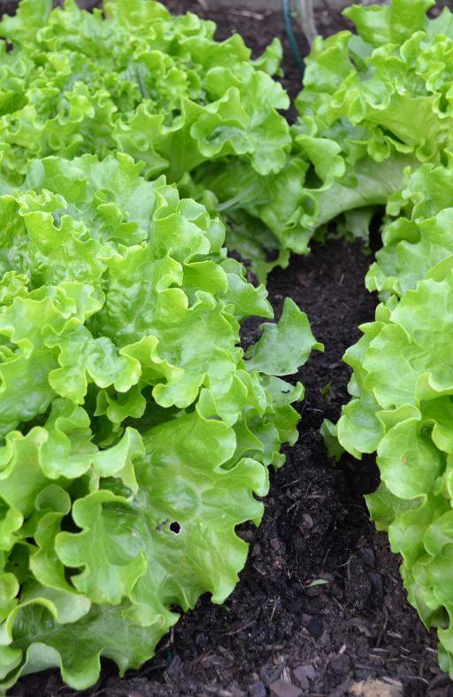 Salata SALAD BOWL GREEN - za rezanje Cijena