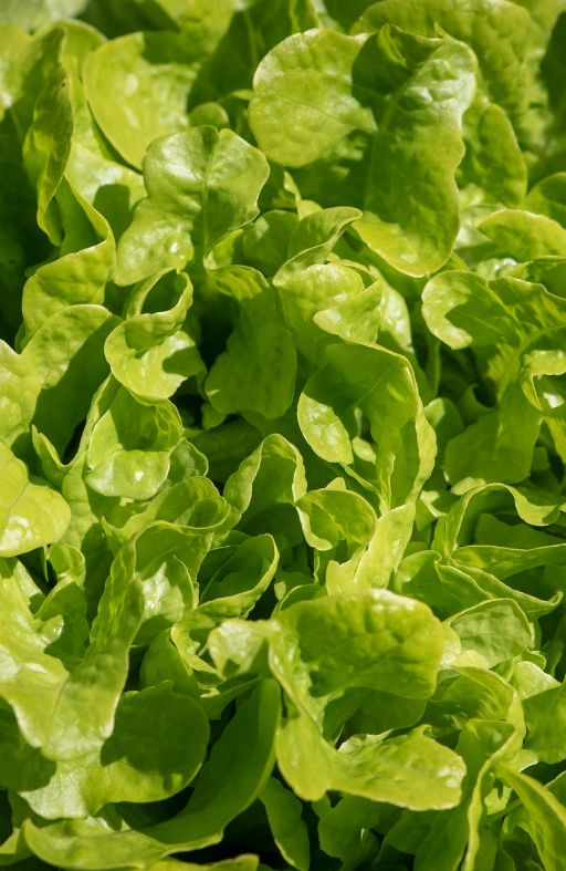 Salata HRASTOV LIST - za rezanje Cijena