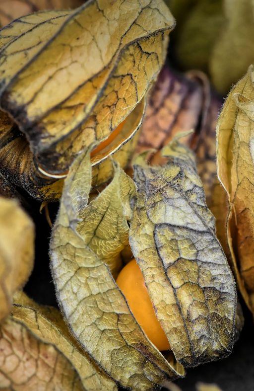 Peruanska jagoda ALCHECHENGI Cijena