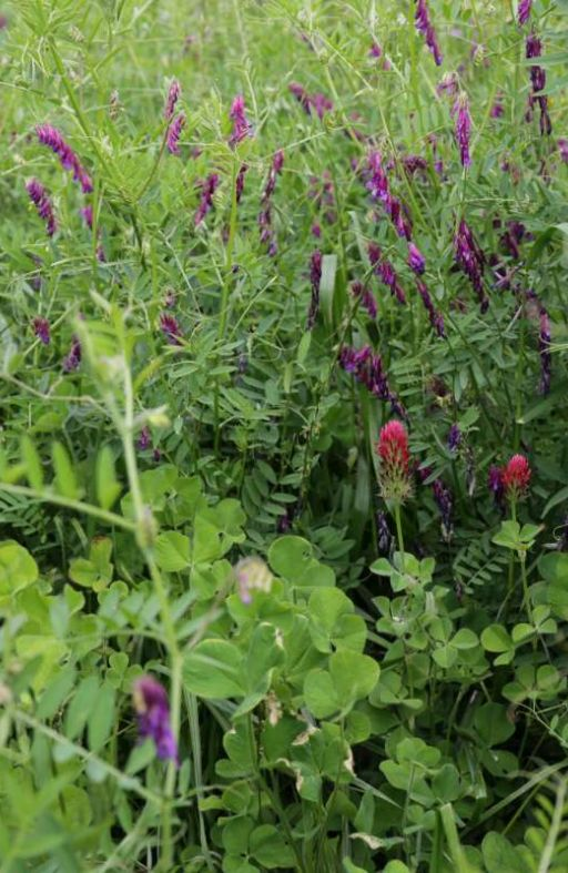 Zelena gnojidba LANDSBERGER 1 Cijena