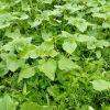 Zelena gnojidba ARPSHOF 1