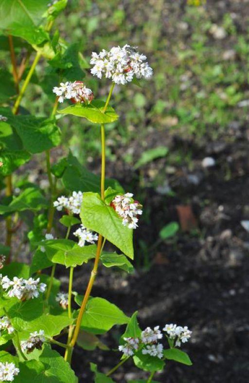 Heljda SITNOZRNA - zelena gnojidba Cijena
