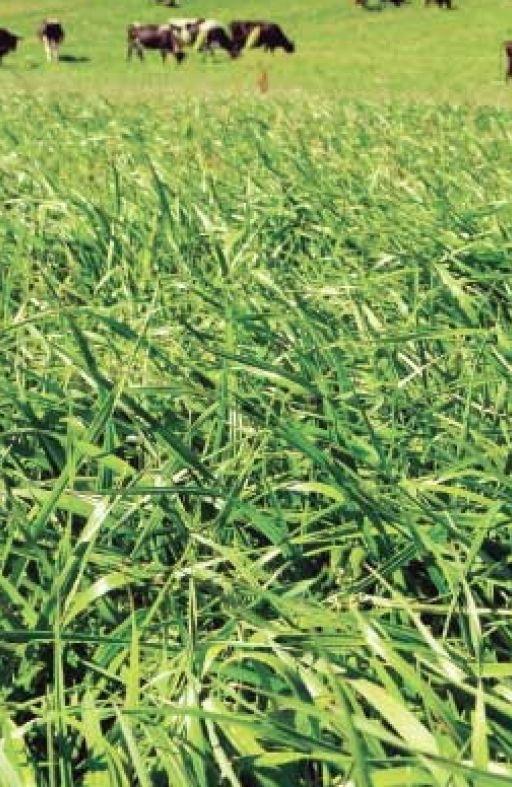 Festulolium (križanac vlasulje i ljulja) Cijena