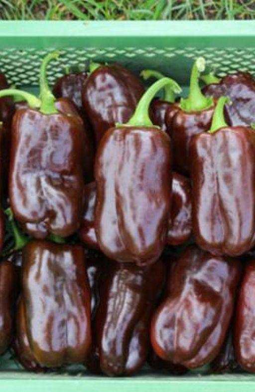 Paprika SWEET CHOCOLATE Cijena