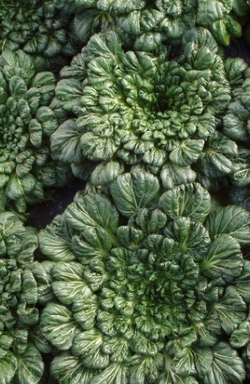 Salata azijska TATSOI Cijena