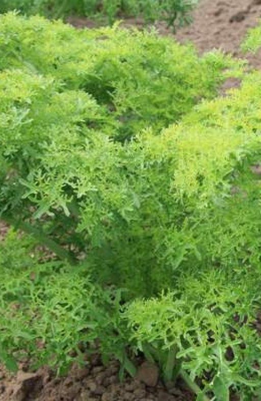 Salata azijska GOLDEN FRILLS Cijena