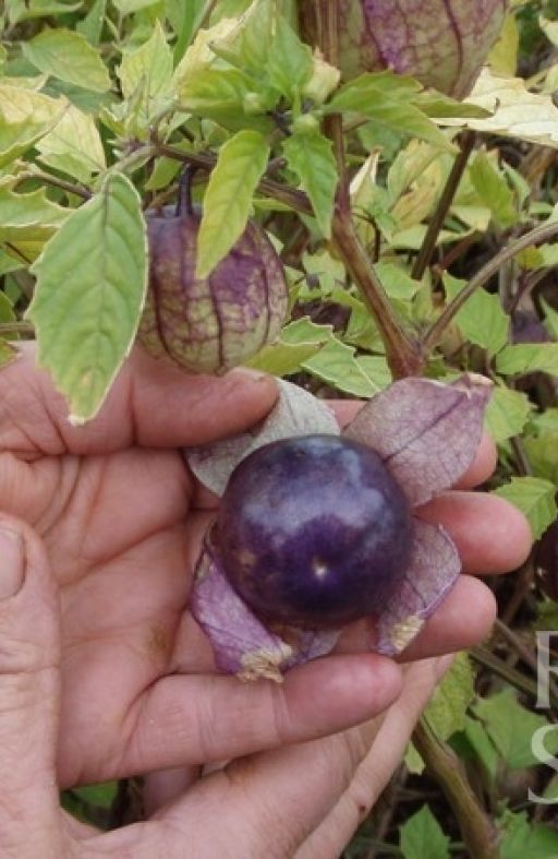 TOMATILLO PURPLE Cijena