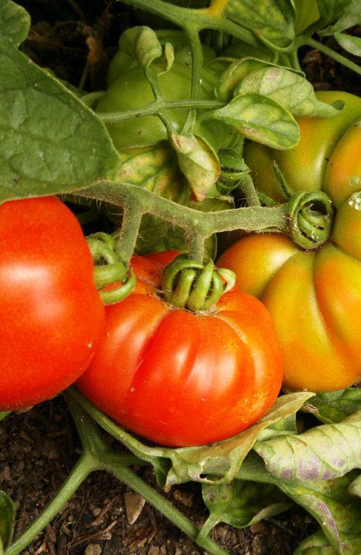 Rajčica MARMANDE - za salatu Cijena