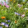 Zelena gnojidba SMJESA PČELA