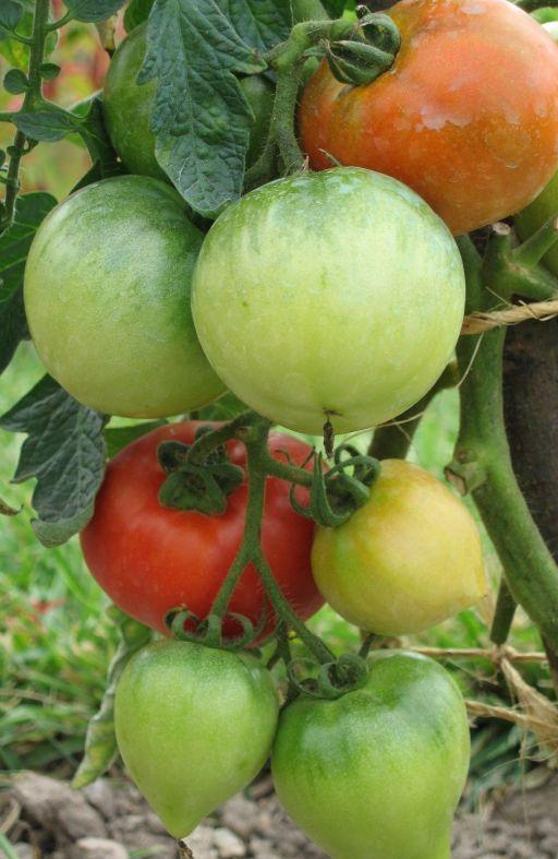 Rajčica ACE - za salatu Cijena