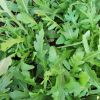 Rukola - kultivirana