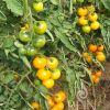 Rajčica GOLDKRONE