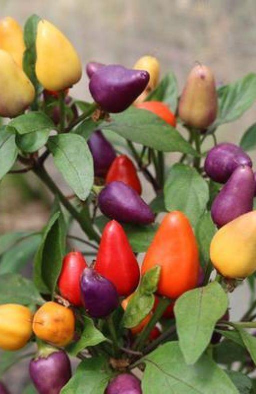 Chili paprika AURORA Cijena