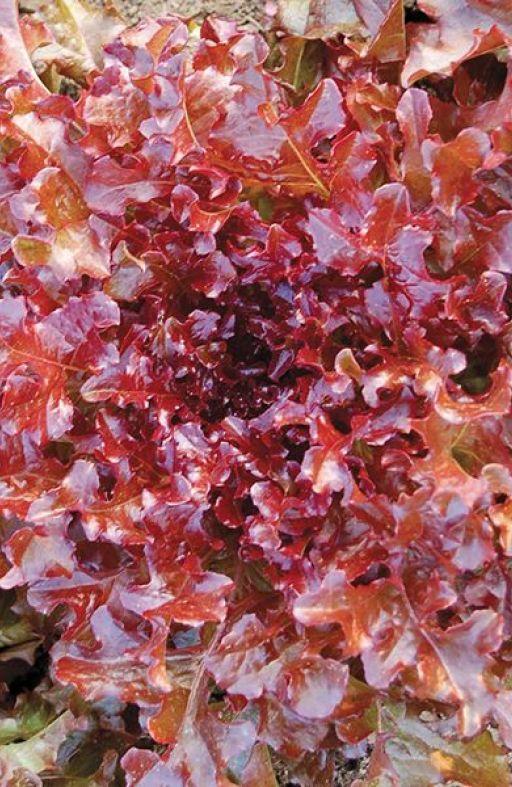 Salata SALAD BOWL RED - za rezanje Cijena