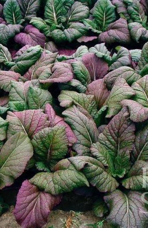RED GIANT - salata Cijena