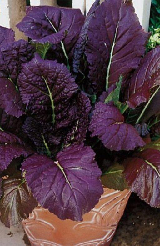 Salata azijska RED GIANT Cijena