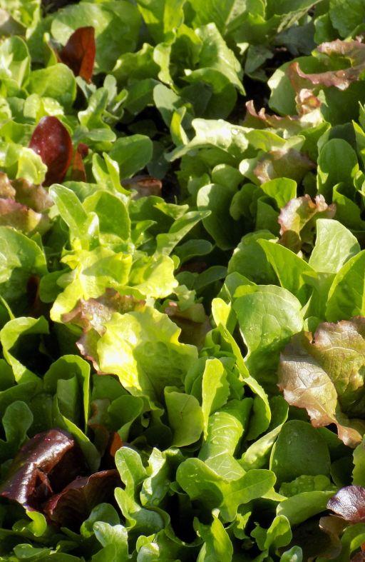 Salata MESCLUN - mješavina Cijena
