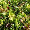 Salata MESCLUN - mješavina