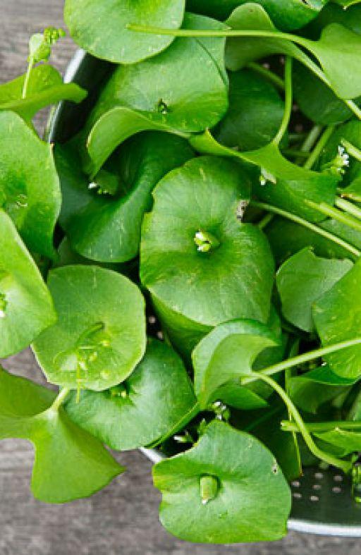 Potočarka (Miner's lettuce) Cijena