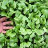 Potočarka (Miner's lettuce)