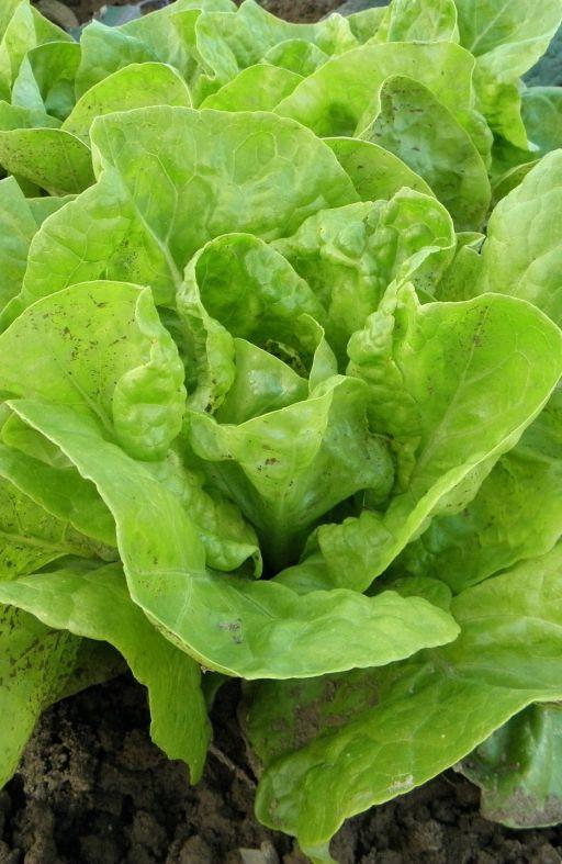 Salata PUTERICA MAJSKA KRALJICA Cijena