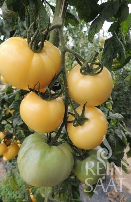 Rajčica WHITE SENSATION Cijena