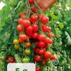 Rajčica ZUCKERTRAUBE